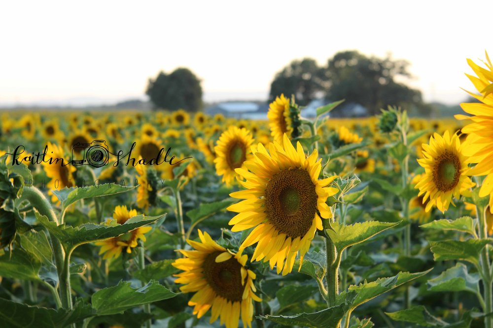 Sunflower Field on Helman Road