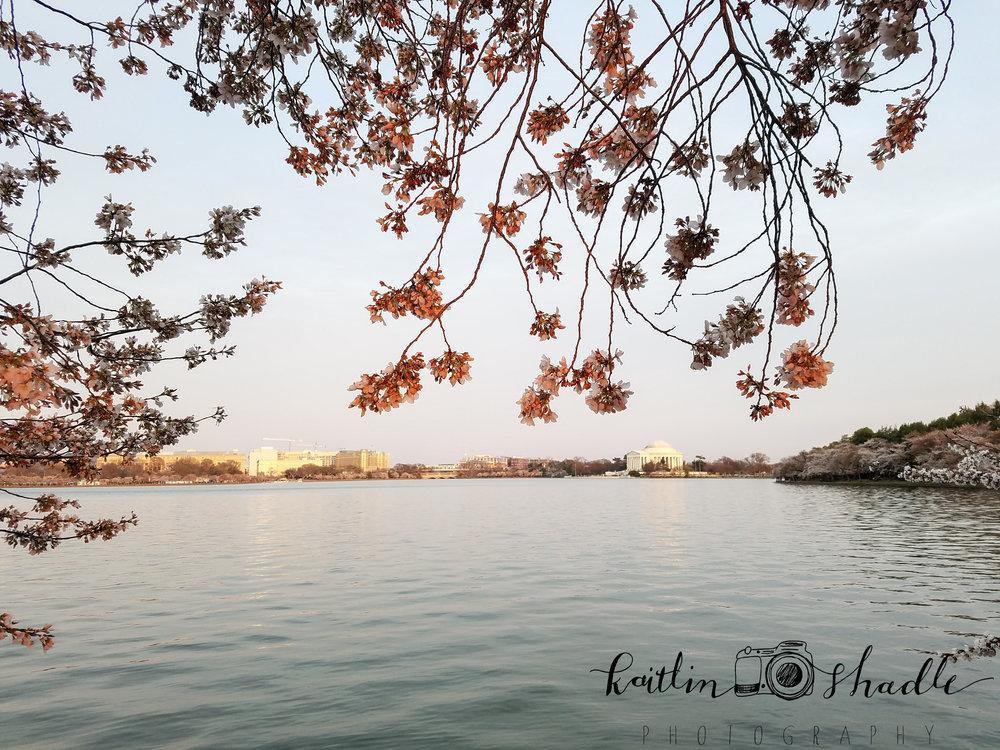 Jefferson Memorial Cherry Blossoms