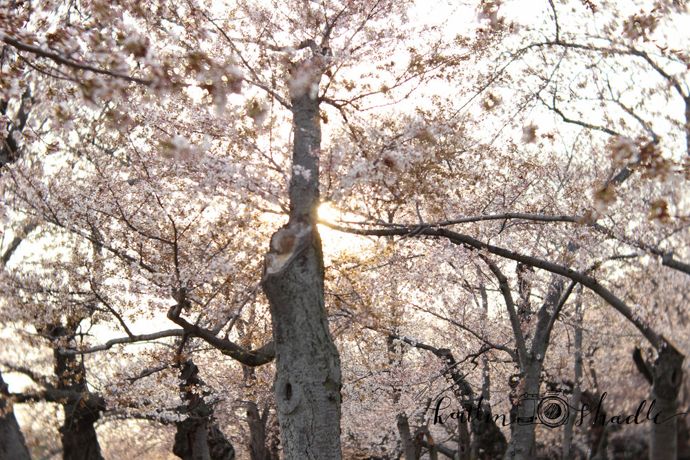 Cherry Blossoms at Golden Hour