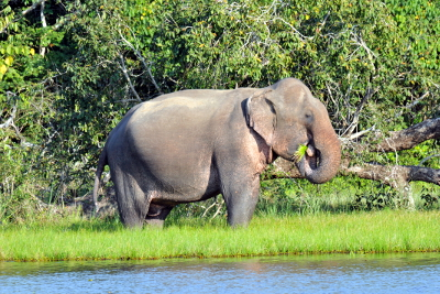 - Wild elephants in Wilpattu