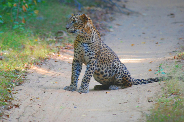 Only national park with a high density of leopards in Sri-Lanka