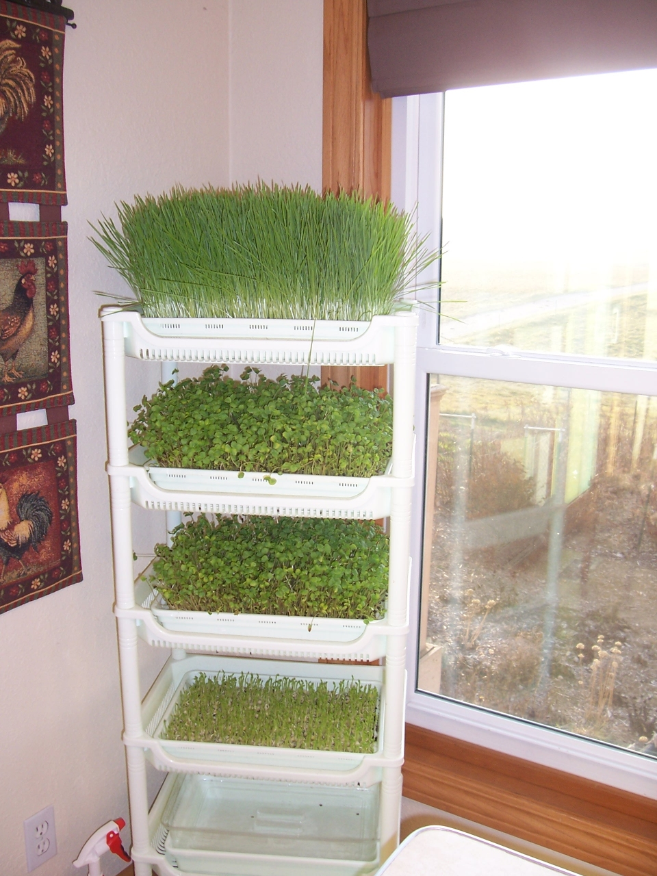 Wheat grass and sprouts are super easy to make--you can grow them right in your kitchen.