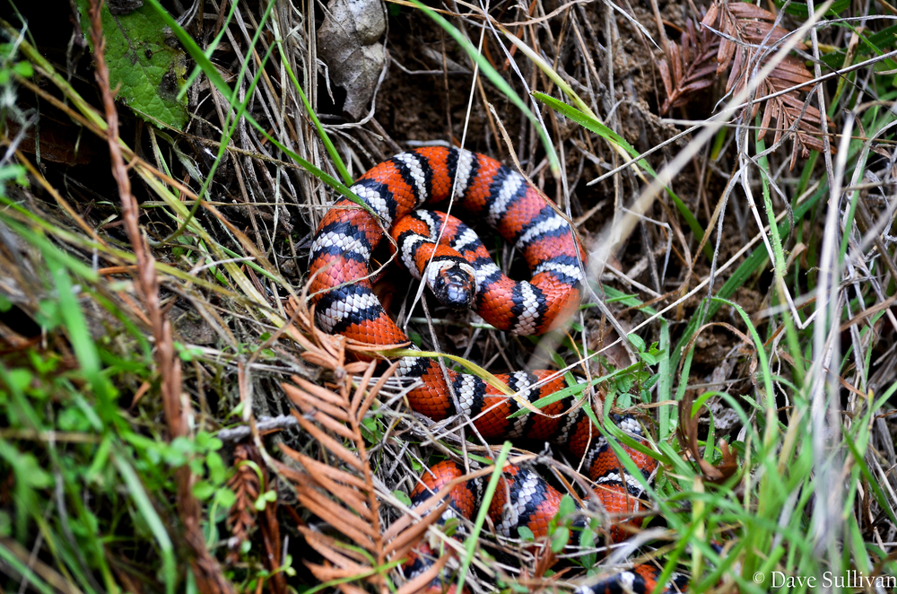 Coastal Mountain Kingsnake 2.jpg