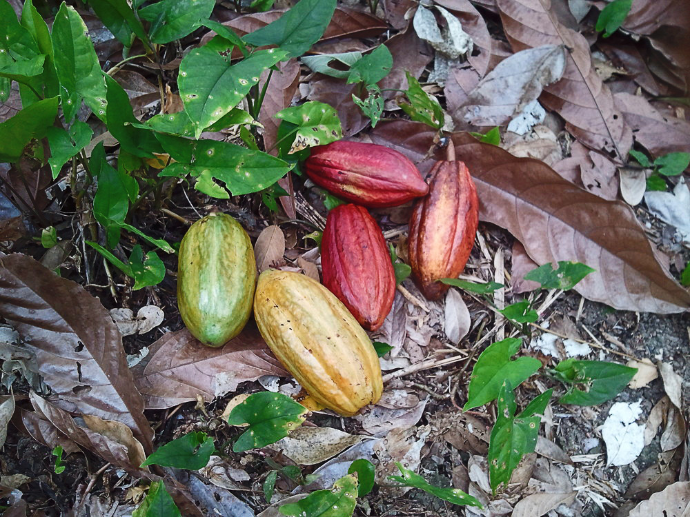 cacao-pods-moho-chocolate.jpg