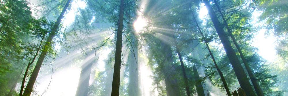 redwood.jpg
