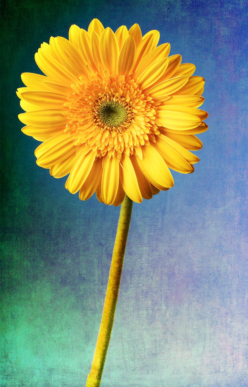Yellow Gerber Daisy.jpg