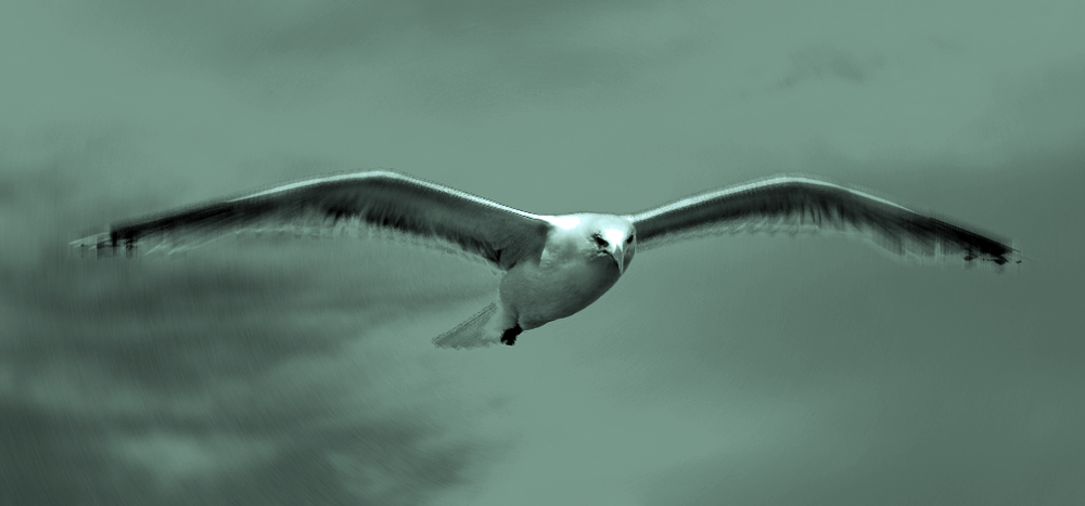 Seagull_flying_(3).png