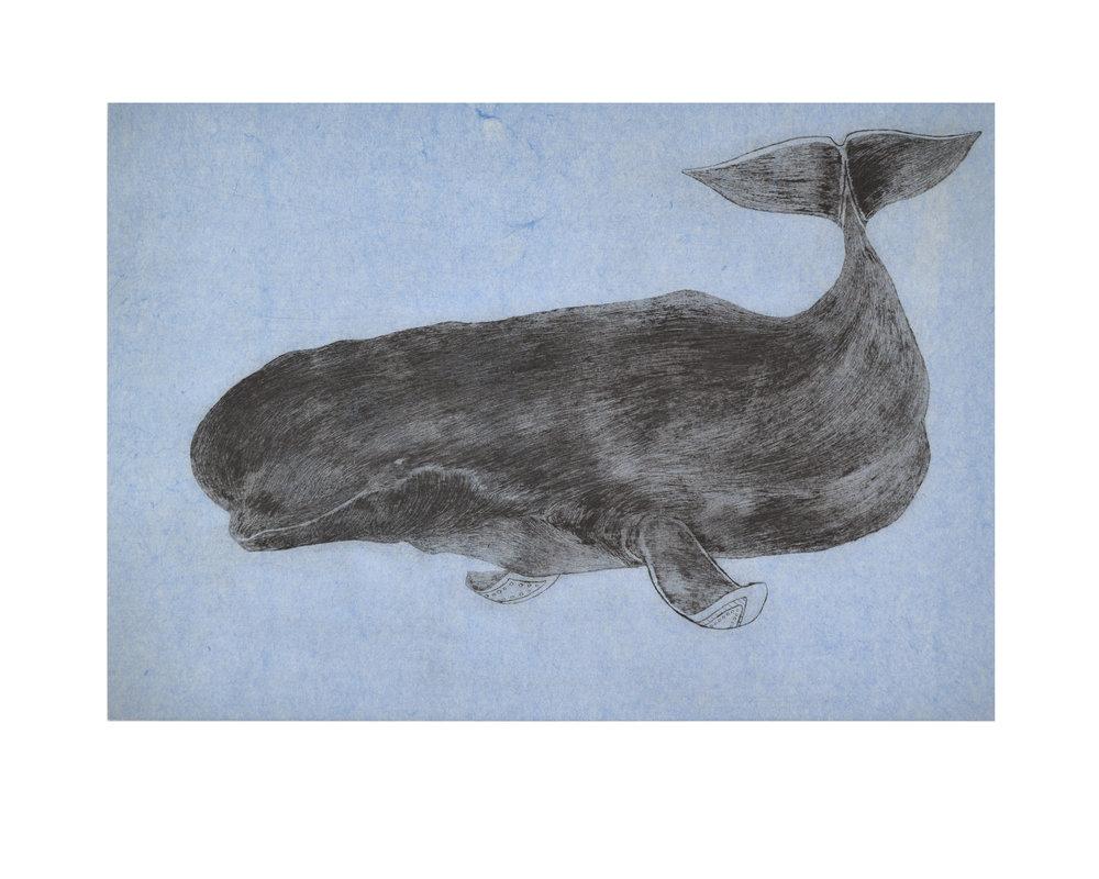 Tim Pitsulak, Ancient Beluga