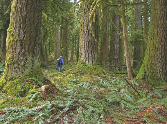 A hiker is dwarfed by the towering firs at Rockport State Park. Photo by Kim Brown.