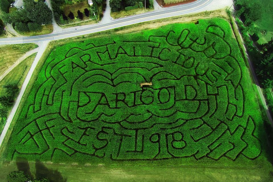 Darigold-themed corn maze
