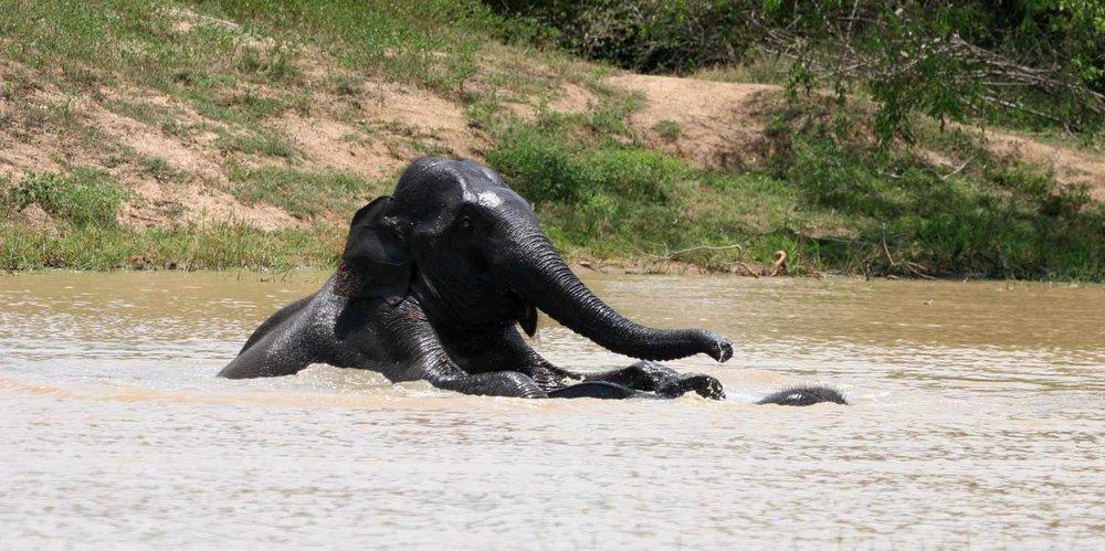wilpattu-elephant.jpg