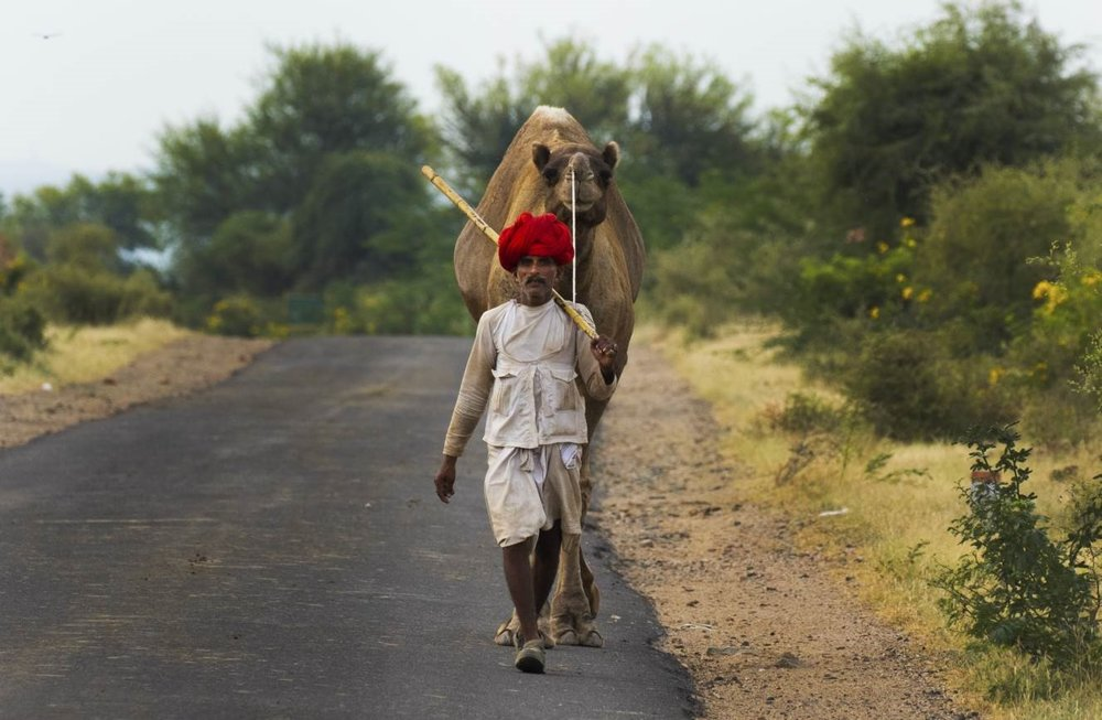 Rabari with Camel on the road-Optimized.jpg