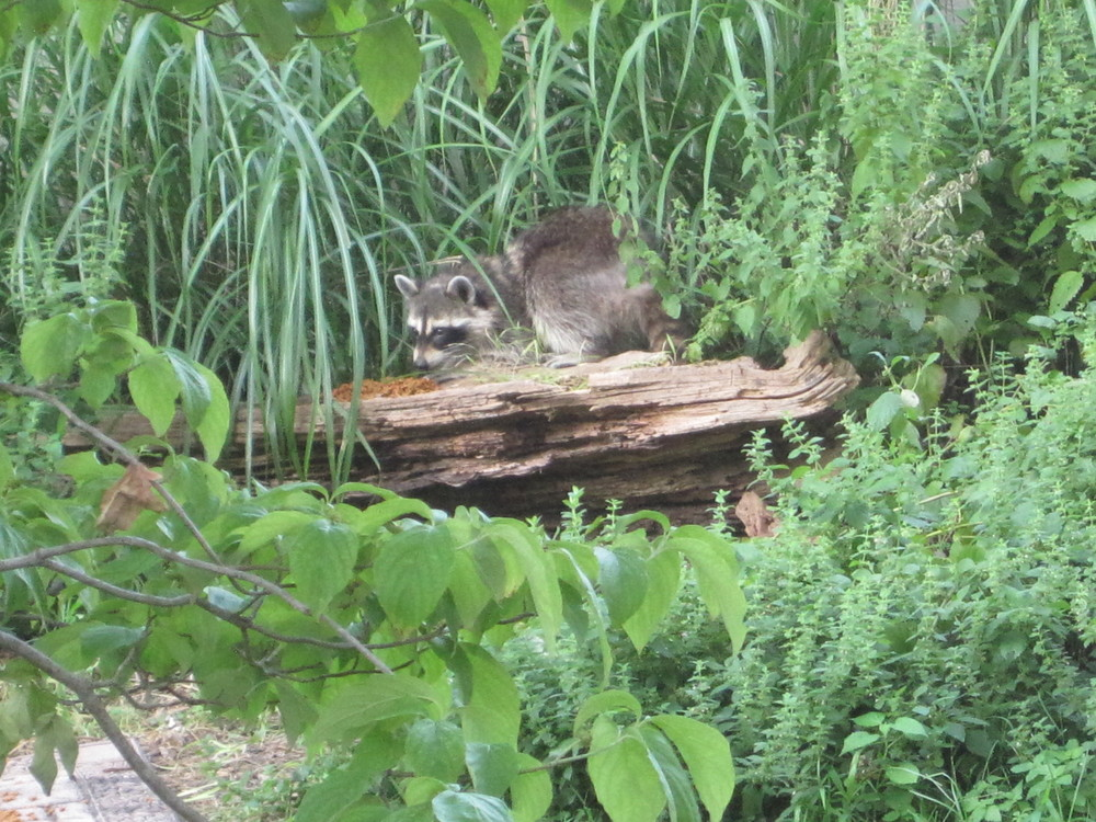Raccoon family Jun, 2011 (3).jpg