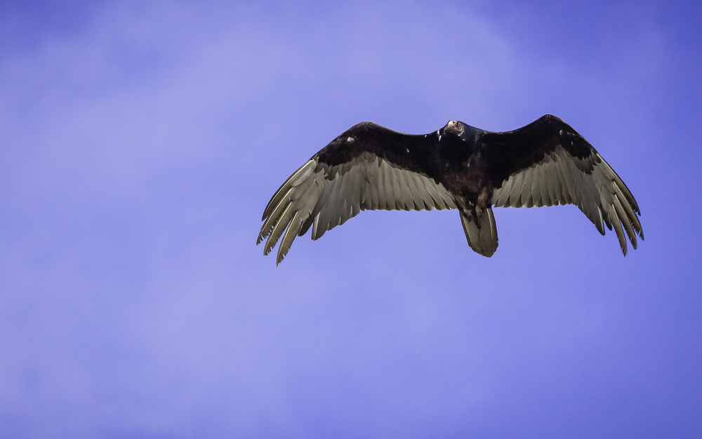 Turkey Vulture- Asilomar State Beach -- Pacific Grove, California