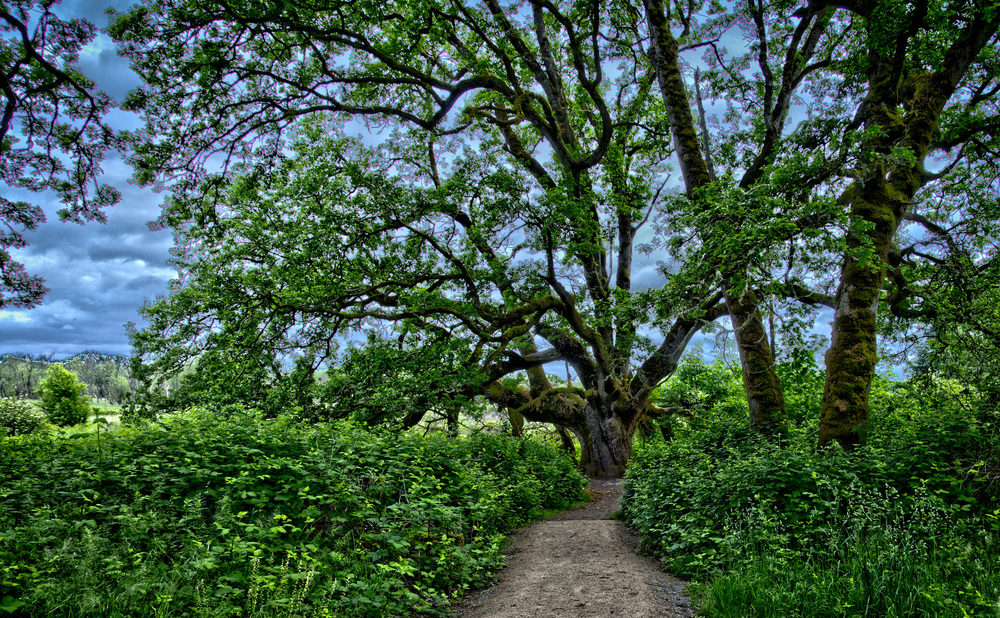 Hand Held 3-shot HDR of Spectacular Oregon White Oak -- -- Ridgefield National Wildlife Refuge, Ridgefield Washington