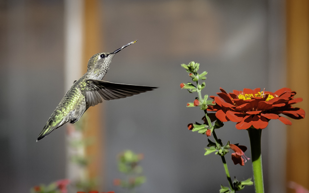 Anna's Hummingbird  About to Feed on Zinnia -- My Backyard, San Jose, California