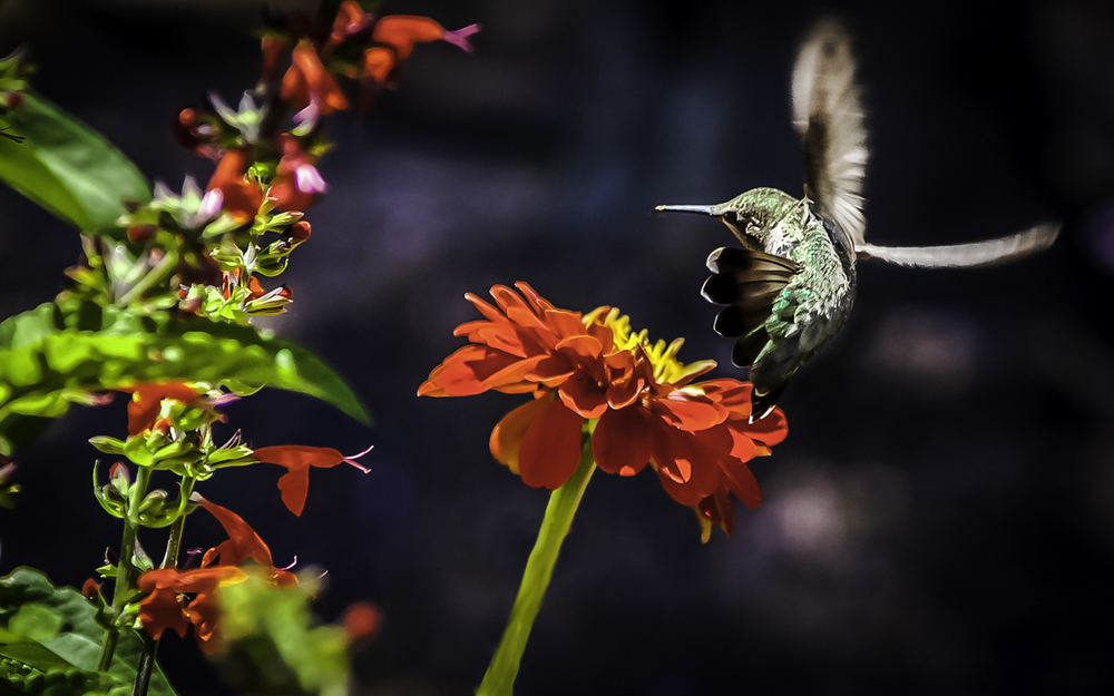 Anna's Hummingbird Making Hard Left Turn  -- My Backyard, San Jose, California
