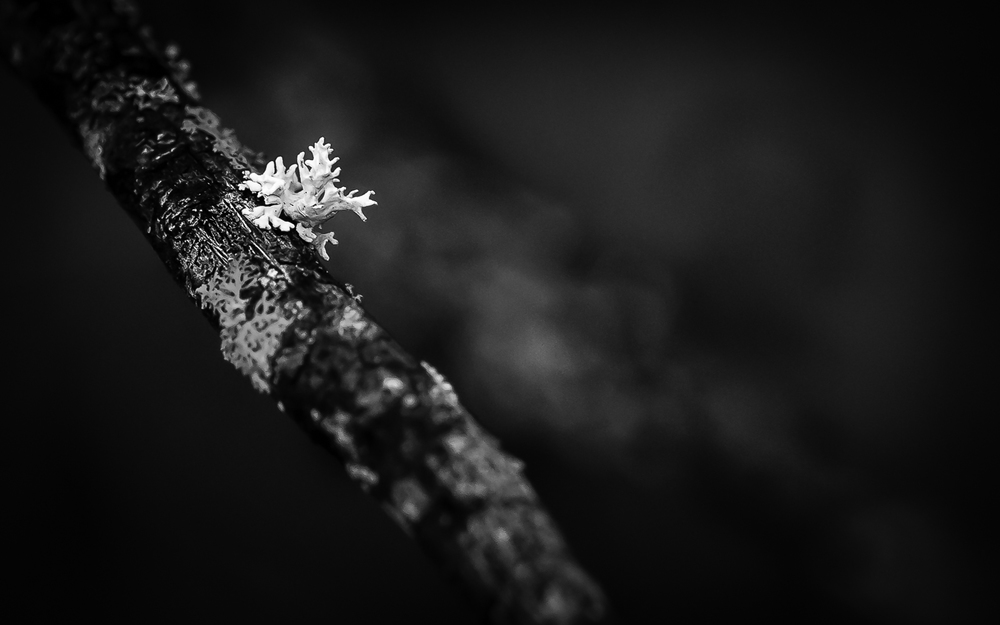 "Lichen ""man"" Running Down Tree Branch--Black and White"