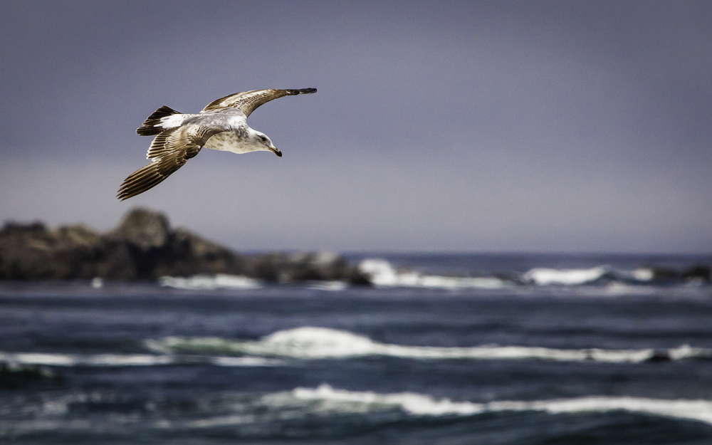 Juvenile Sea Gull -- Asilomar State Beach, Pacific Grove, California