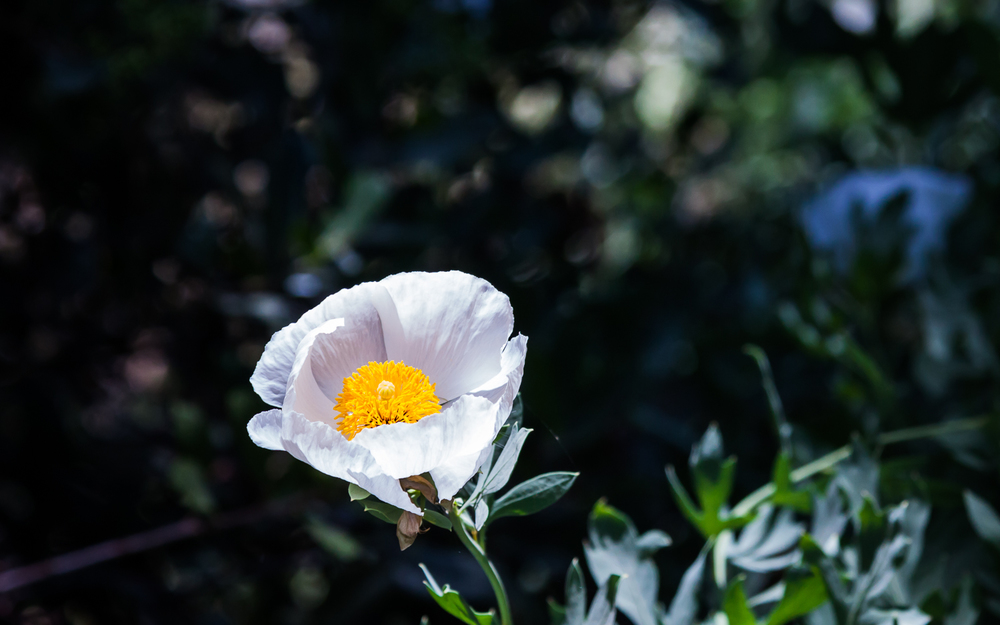 Matilija Poppy -- Los Gatos Creek Trail -- Los Gatos, California