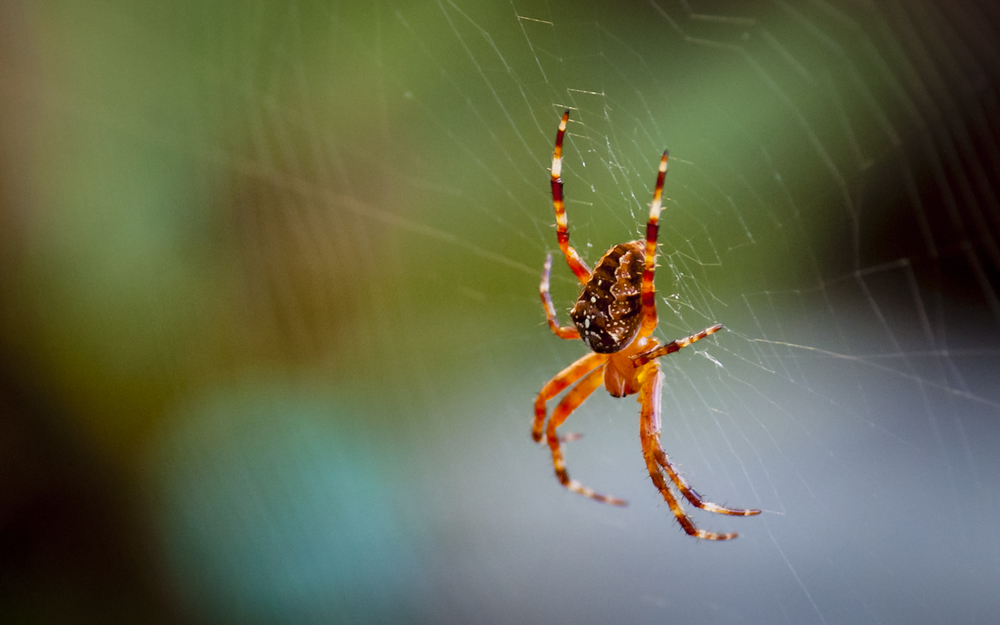 European Garden Spider -- Lateral View
