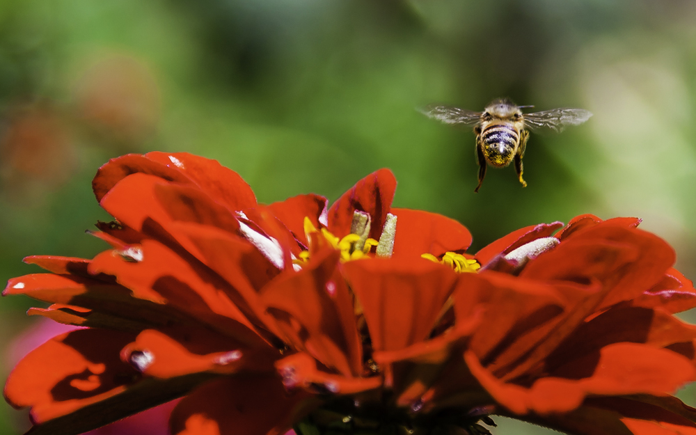 Bee Leaving Zinnia -- My Back Yard.jpg