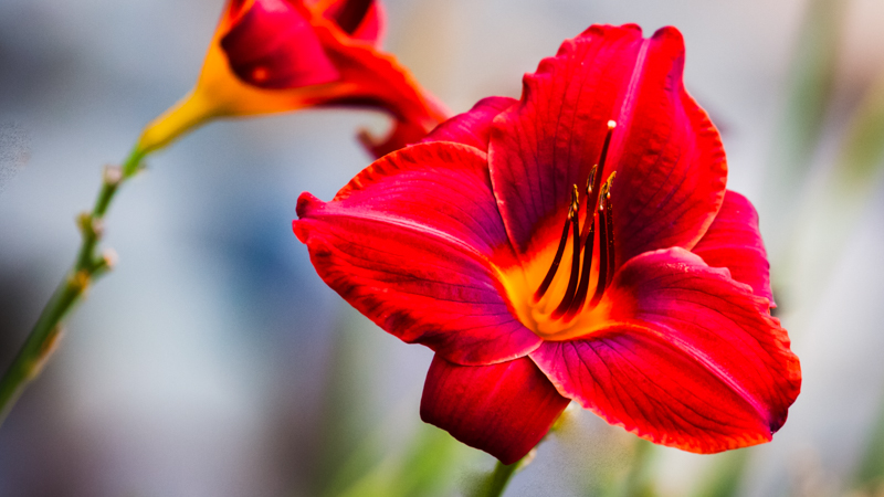 Daylily Outside Building L 3 1.JPG