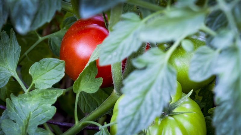 Tomatoes ripe and green-2.JPG