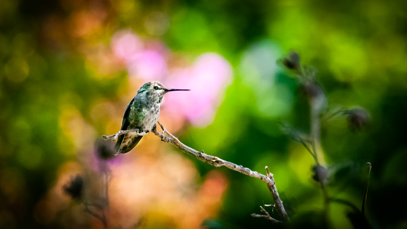Female Annas Humming bird outside L139.jpg