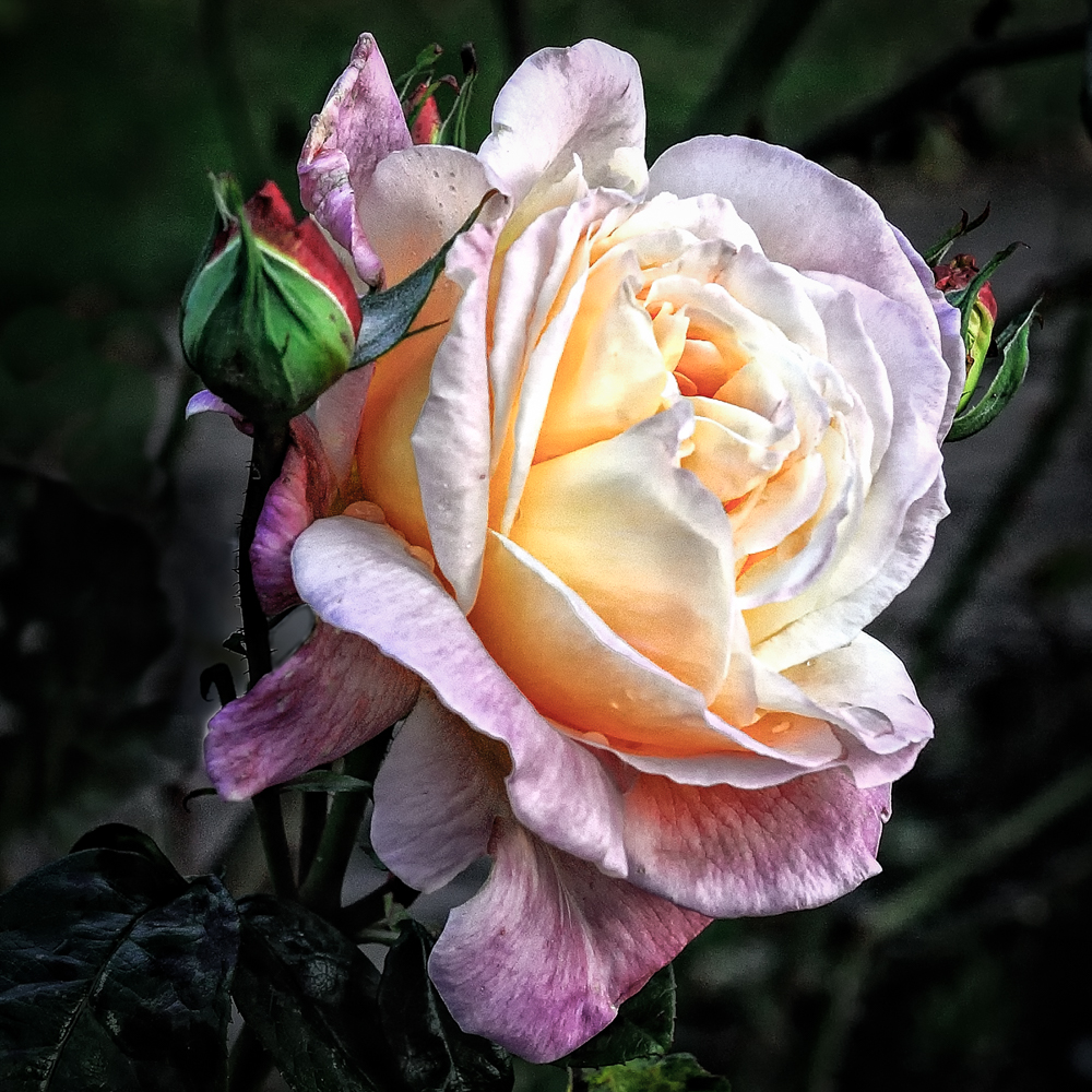 Sidney Rose Garden