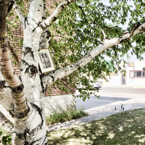 May 2016 portrait in tree by the United Church with Alberta Cafe across the street.