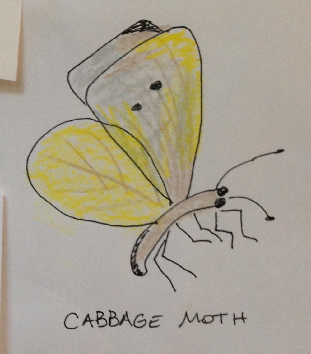 Cabbage Moth adb.jpg