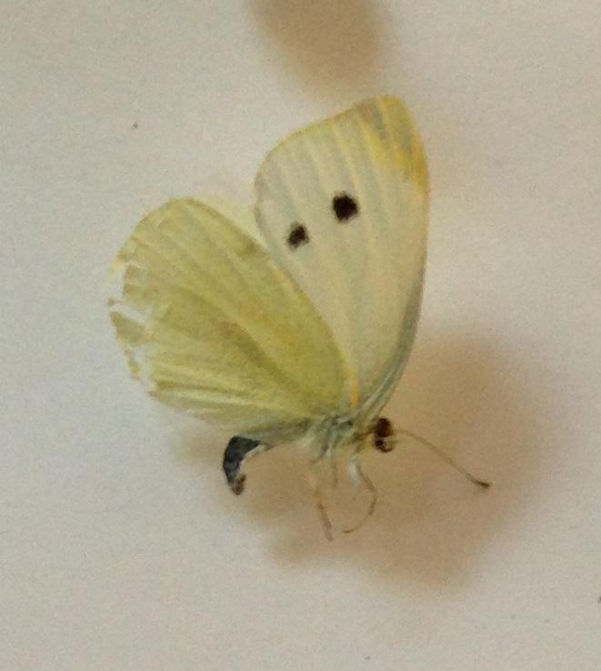 Cabbage Moth pinned.jpg