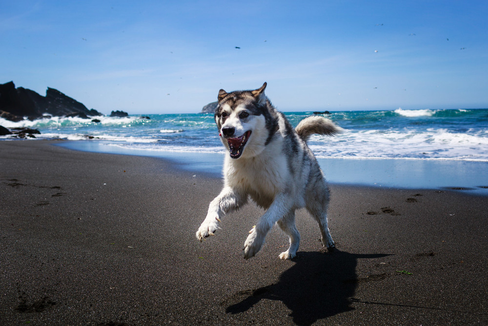 Duke leaping on the beach.