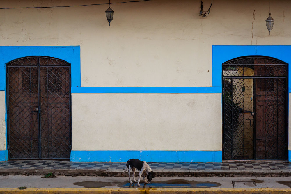 Stray dog drinking from a puddle along the colorful streets and doorways of Granada, Nicaragua on a hot morning.