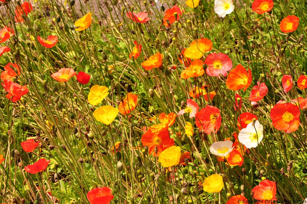 Wildflowers on Isola Bella