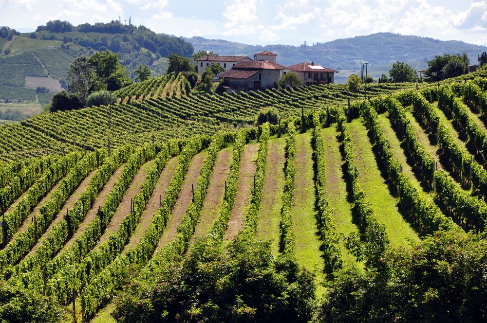 Vineyard Near Castiglione Tinella