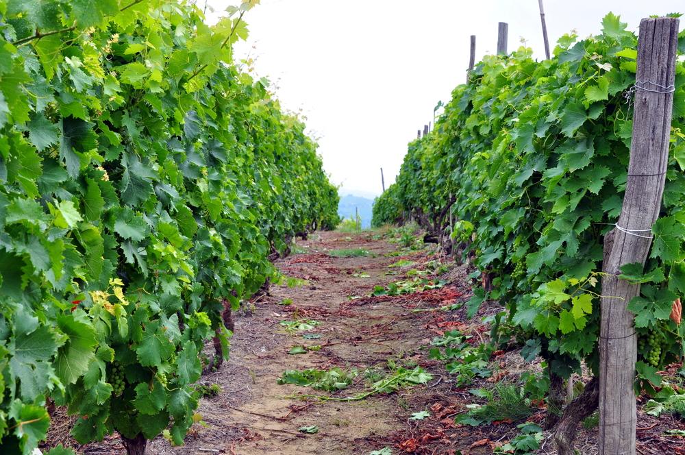 Vineyard, Castiglione Tinella