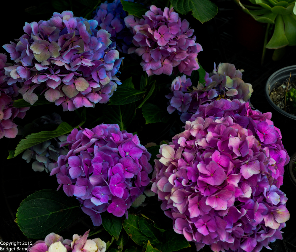 Hydrangeas at the Hollywood Farmers Market  ©Copyright 2015 Bridget Barnes