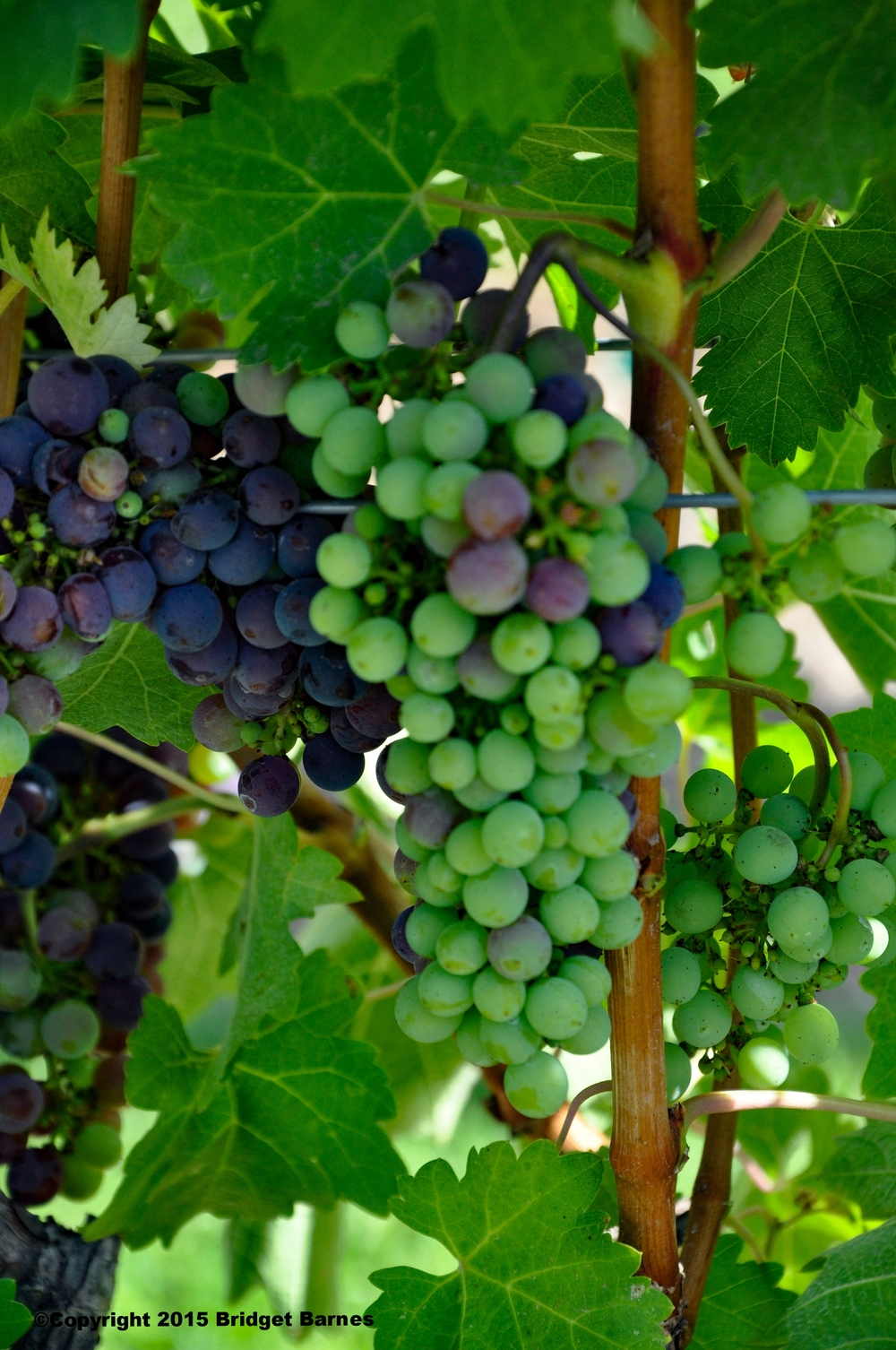 Grapes in Solvang, California  ©Copyright 2015 Bridget Barnes