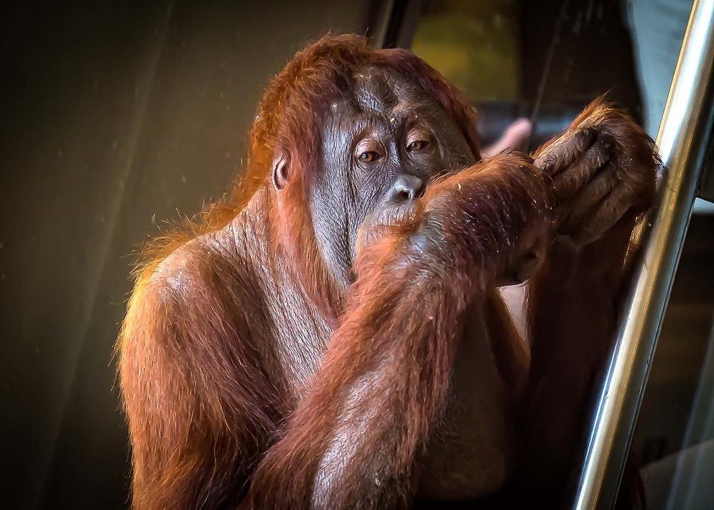 Orangutans -Rocky Crop 2 -03185 - Copy.jpg