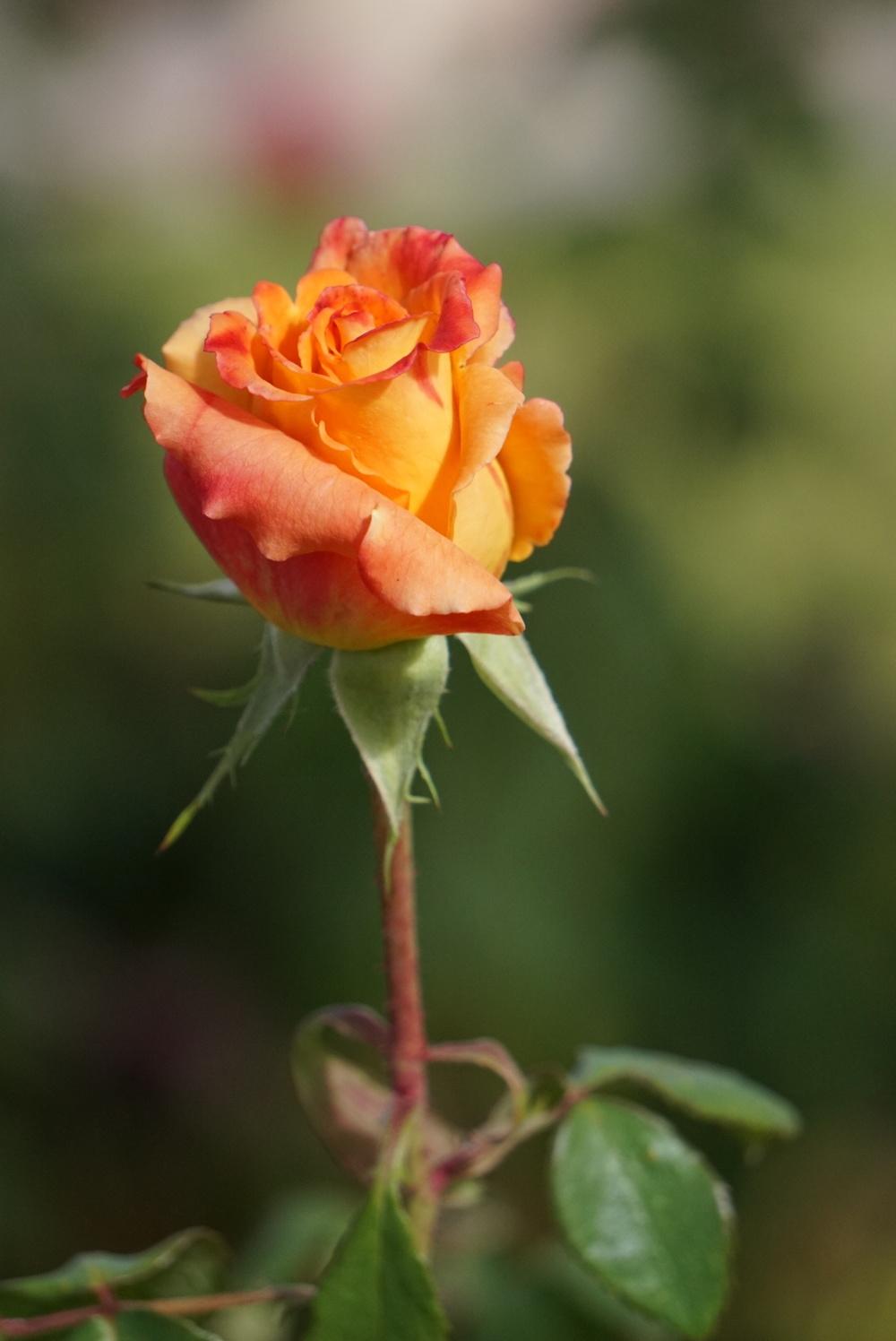 C_Kliewer_s_o_c_Rose.JPG