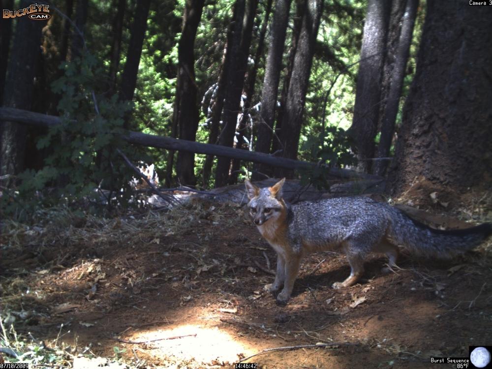 gray_fox1.jpg