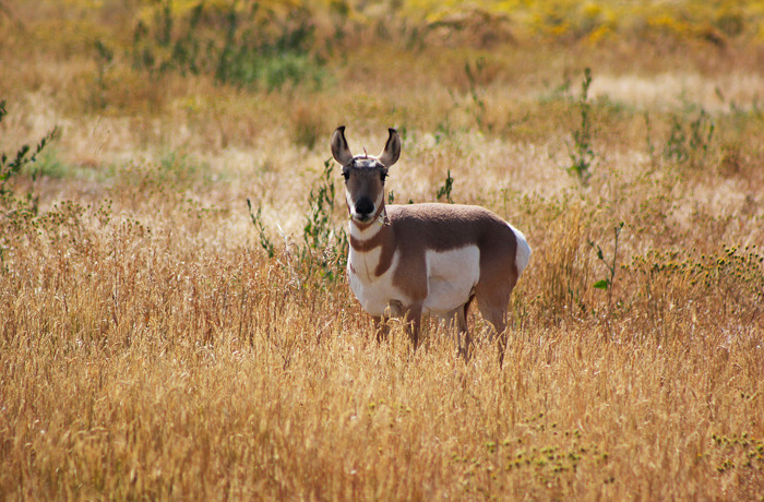Pronghorn Female