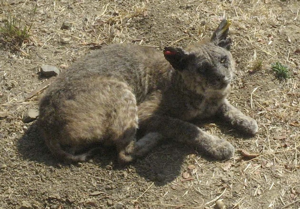 Laurel's Blog — Urban Carnivores Raccoon With Mange