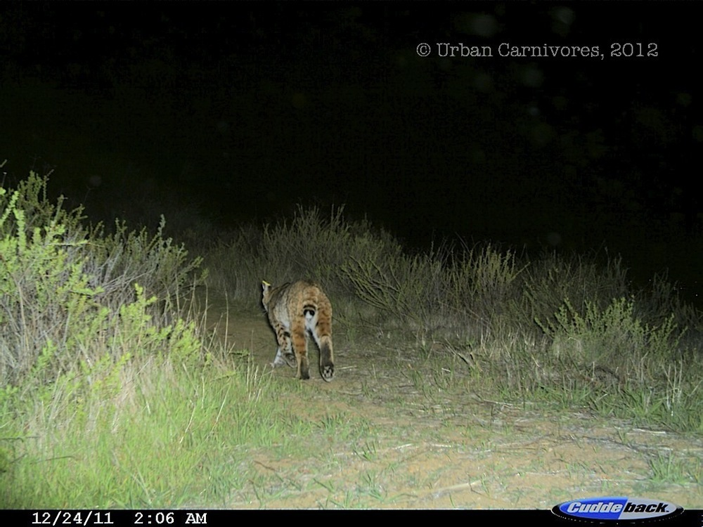 Lake Hollywood Bobcat