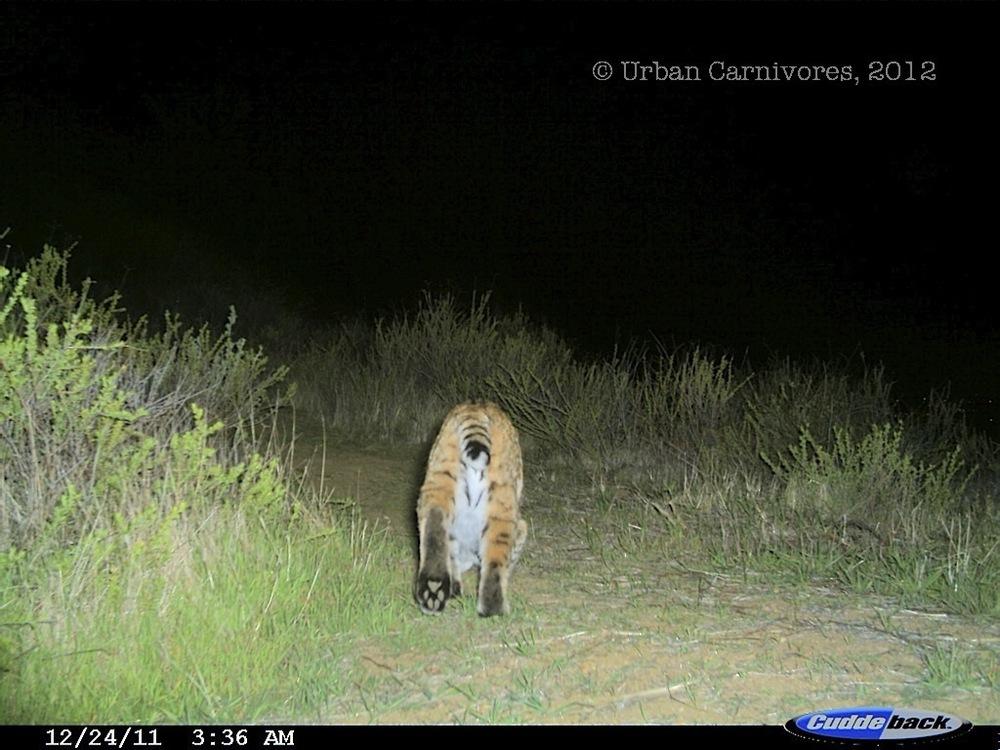 Bobcat sniff