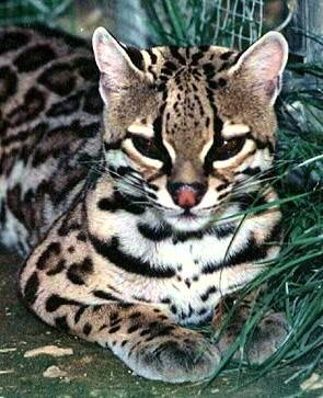 Ocelot (this image not captured on Miguel's remote camera)