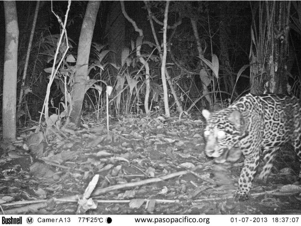 pp jaguar 2013_ordenana.jpg