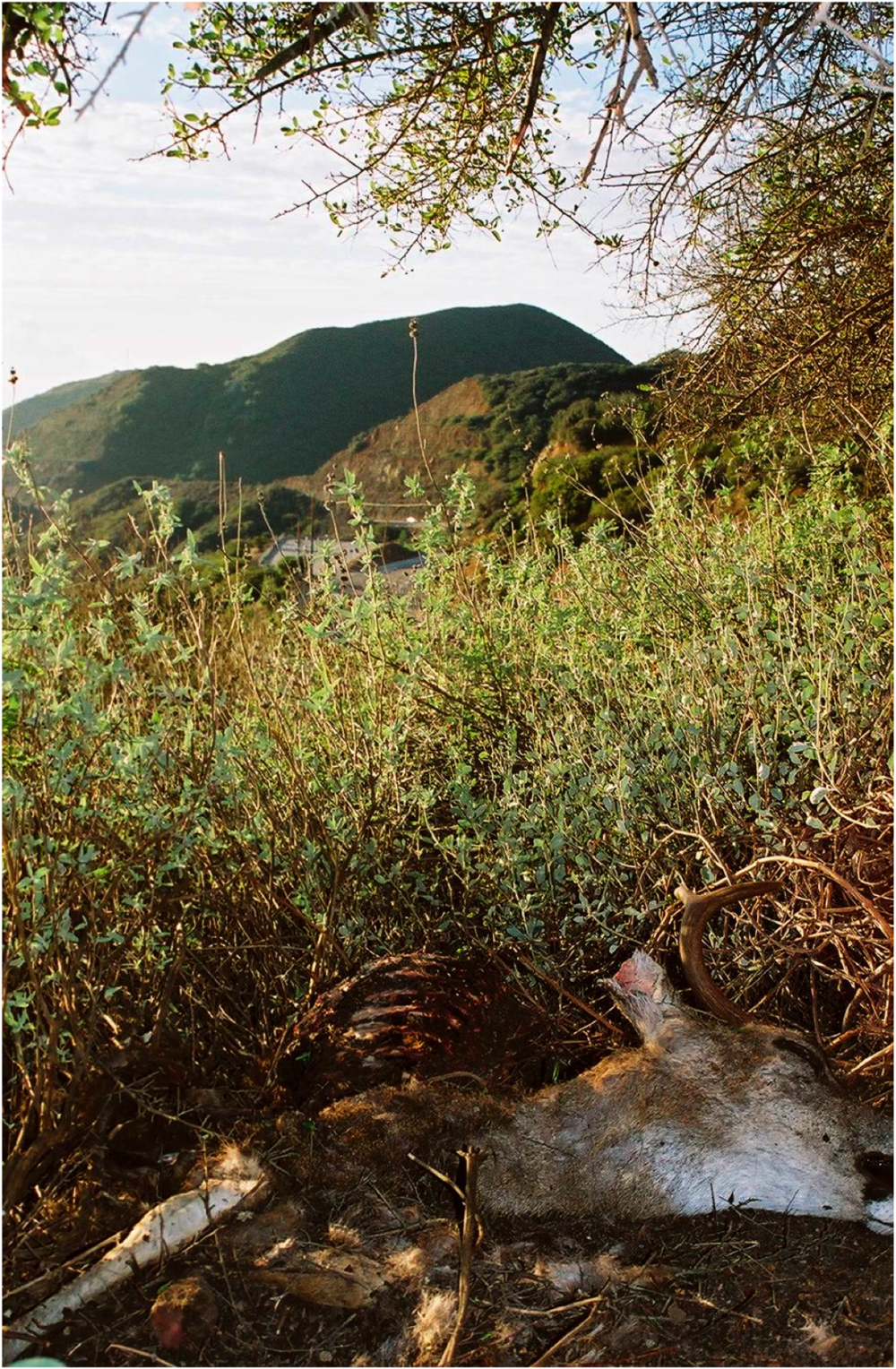 A photo of a cached deer in the Santa Monica Mountains.